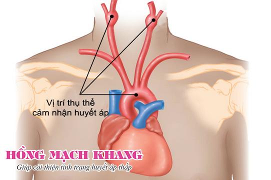 Điều chỉnh huyết áp thông qua thụ thể cảm nhận bên trong mạch máu